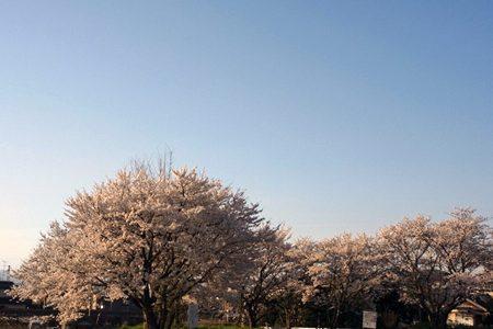 今年の桜、まとめ。