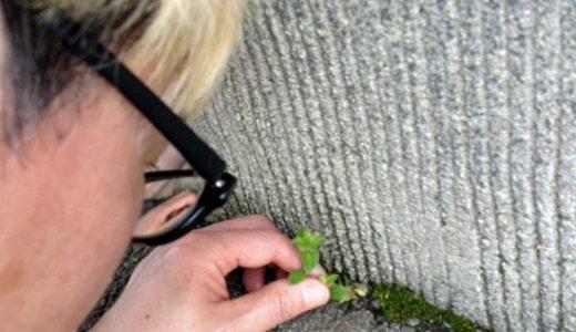 久しぶりに晴れたので、今日はお店の周りの草むしりに精を出します。