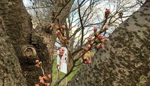 まだまだ、つぼみはかっちかち。桜の開花はまだ先の様です。