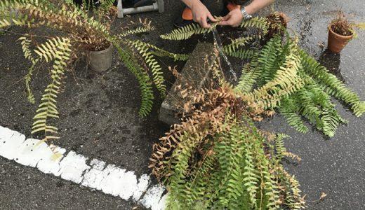 観葉植物の虫退治。がんばりました!