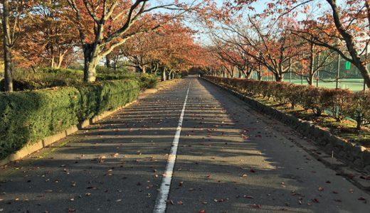 いつもの粟津公園。桜並木の紅葉がピークになってます。
