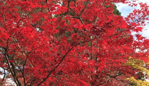 京都永観堂のもみじが素晴らしかった。