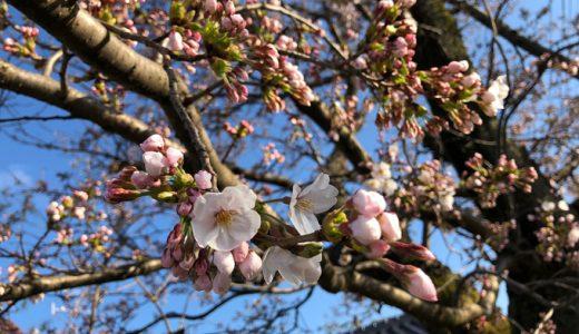 石川県でも桜の開花宣言が出ました。平年より6日早いそうですよ。