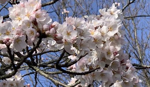 さくら開花。ようやく春がやって来た感じです。