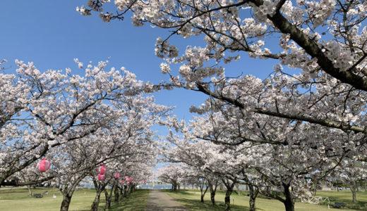 桜が満開で春が来たぁーーー♪